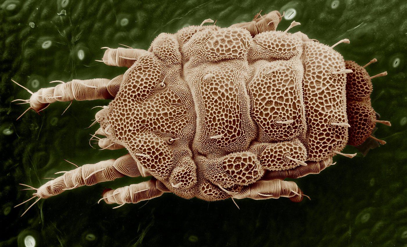 paraziti de pat