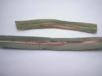 helminthosporium en sorghum