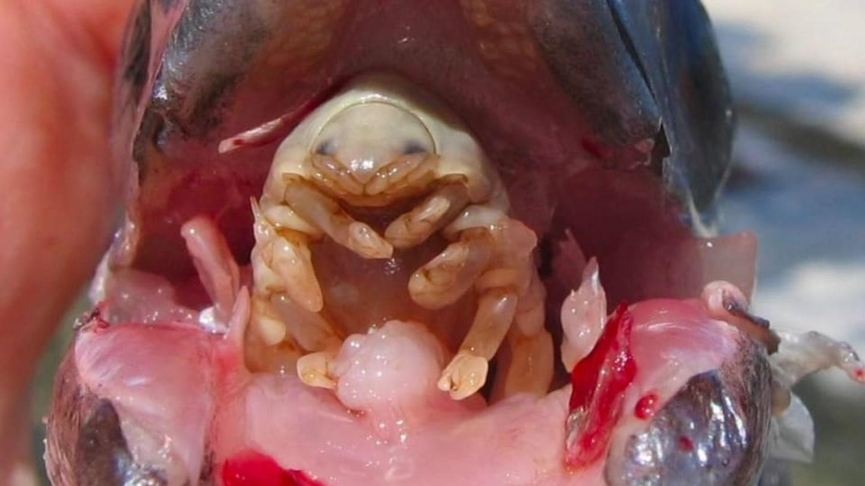 Parazit tablete Paraziti u krvi kod pasa