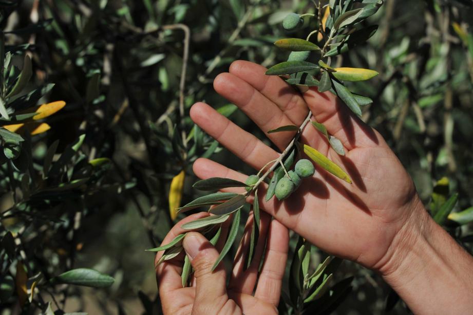 bacterie xylella olivier)