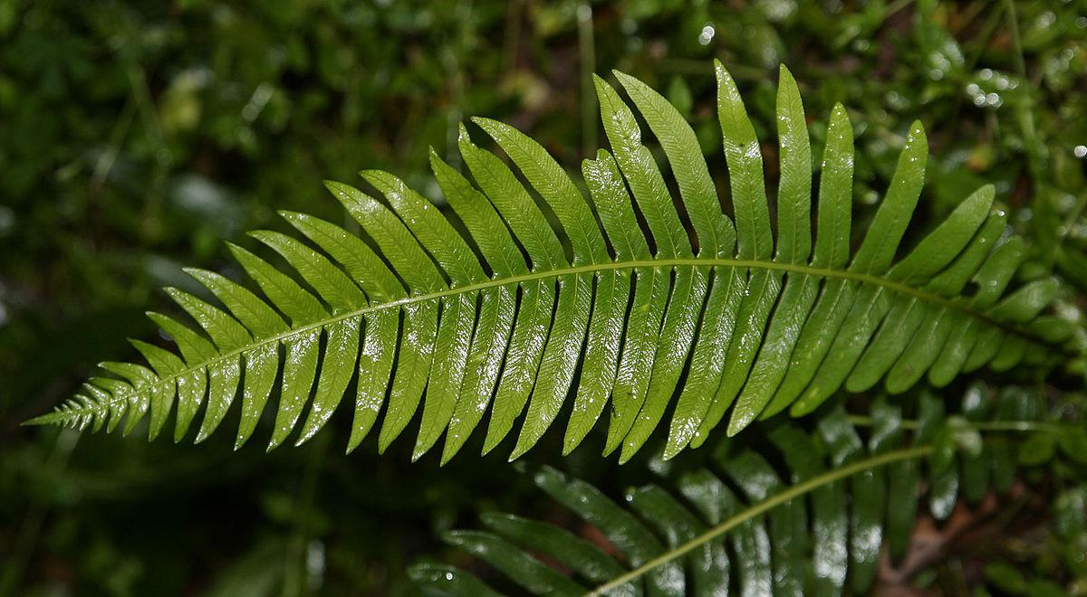 paraziți de rădăcină de ferigă masculină)