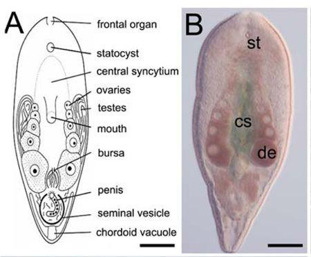 platilhelminthes acoelomorpha)