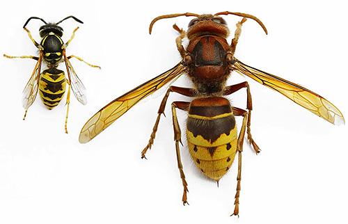 paraziți de viespe