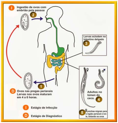 Oxiurose transmissao sintomas tratamento e prevencao