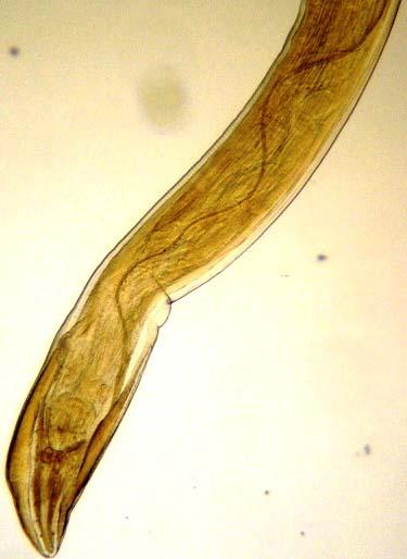 paraziti gongylonema pulchrum