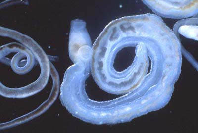 medicament spiral pentru viermi