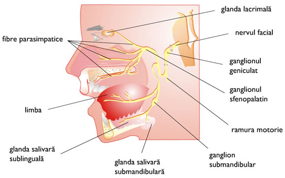 Cancerul glandelor salivare - divastudio.ro