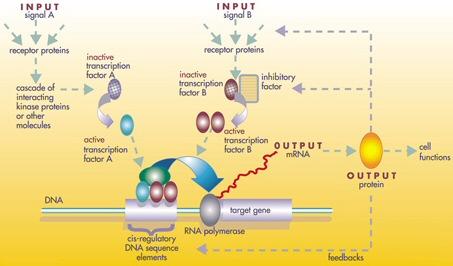 Cancer genetic regulatory network