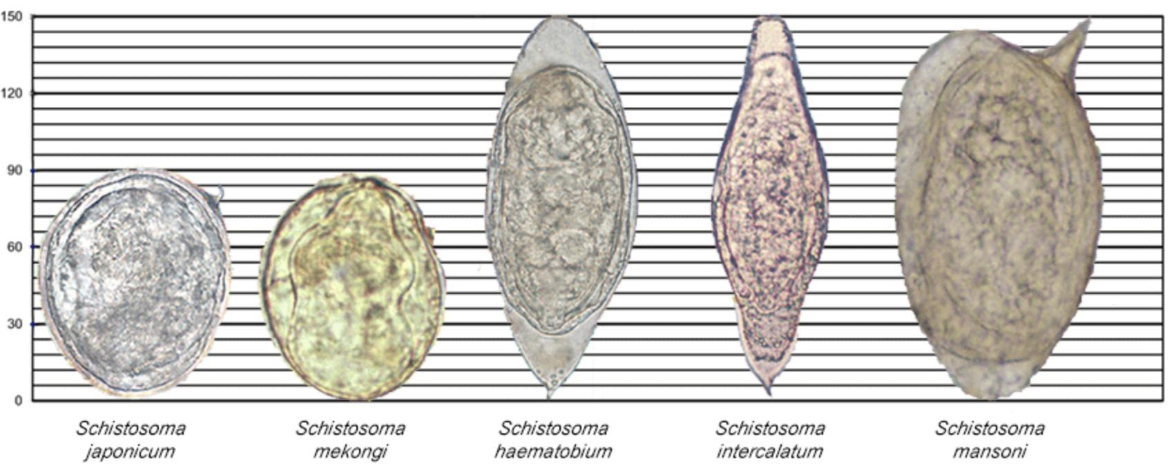 paraziti schistosomiasis)