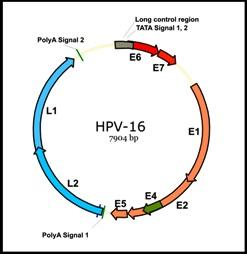 papilloma virus genoma)