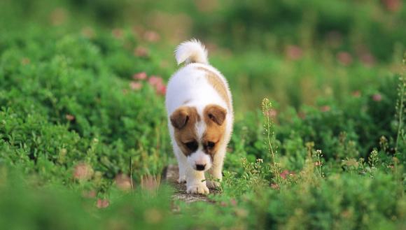 câine giardia)