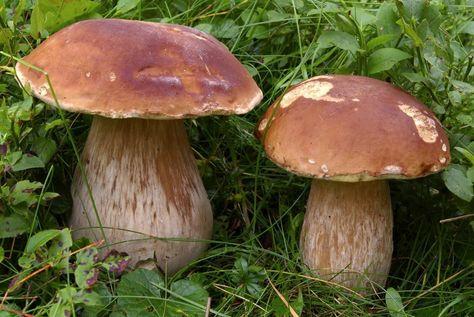 ciuperci porcini