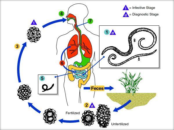 tratament de vierme lung