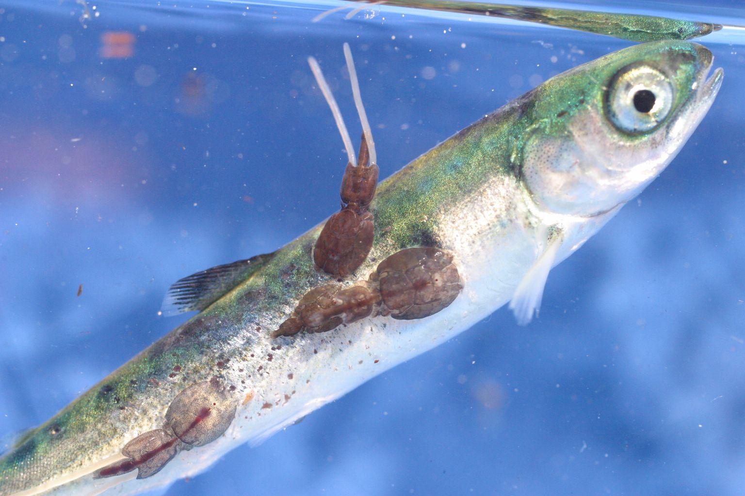parazit v rybach)