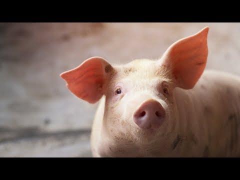 Cum și cum să eliminiți viermii la porci