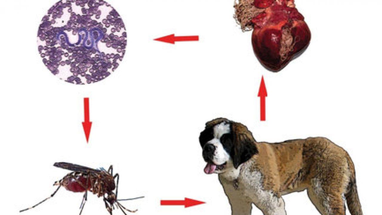 prevenirea viermilor și a pastilelor parazite)