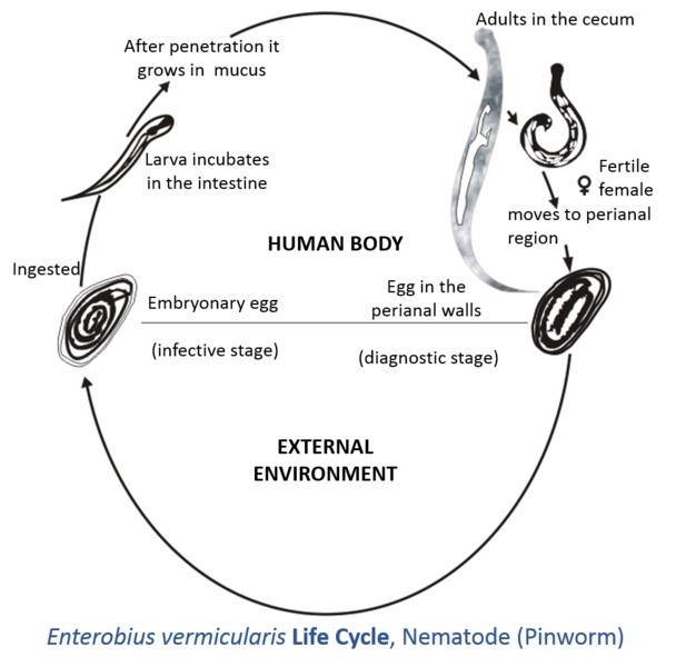 enterobius vermicularis taxonomy)