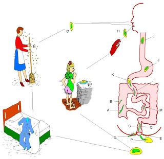 enterobius vermicularis via de transmision