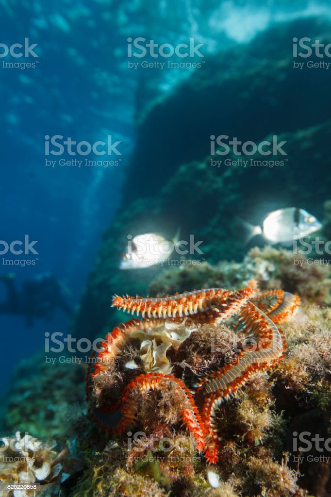 fireworm la adulți)