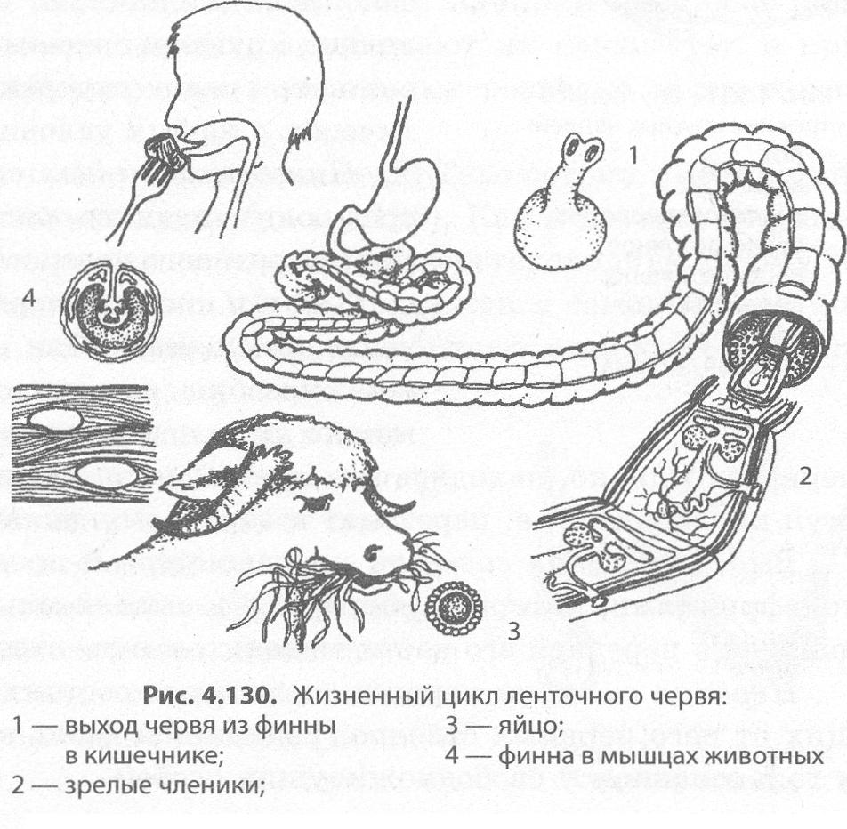 hermafrodită de tenă
