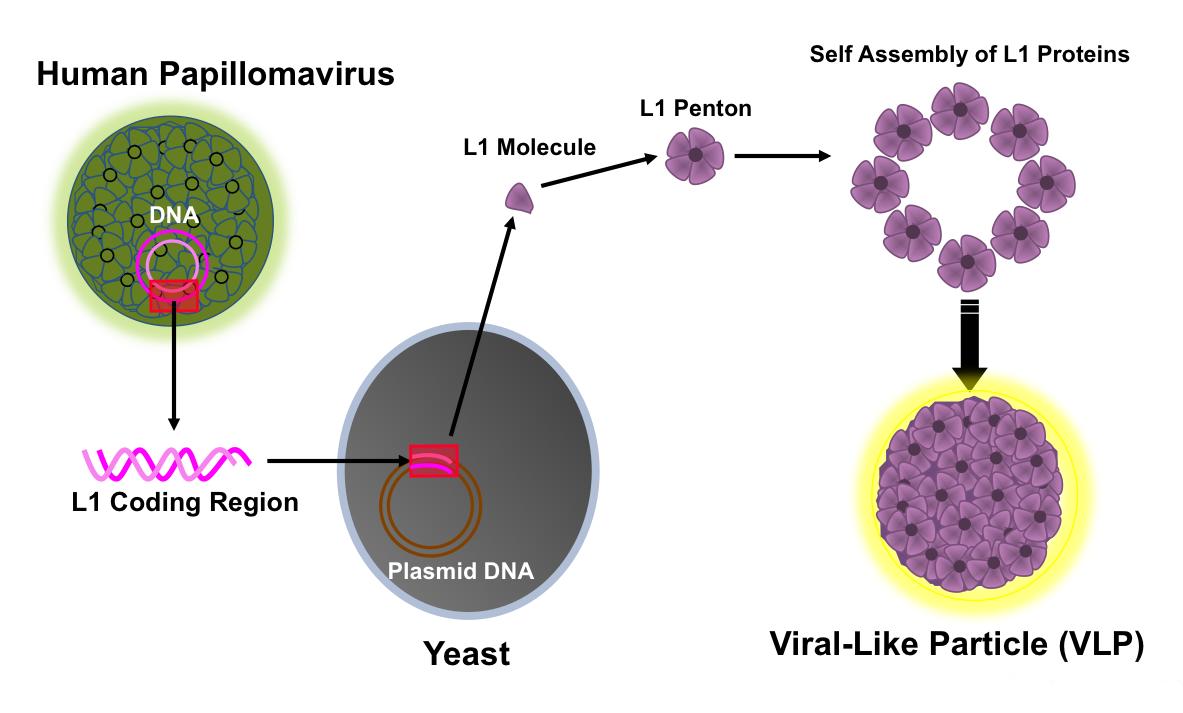 hpv virus is present