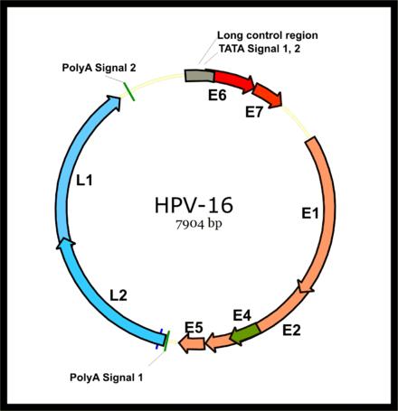 hpv virus number 16