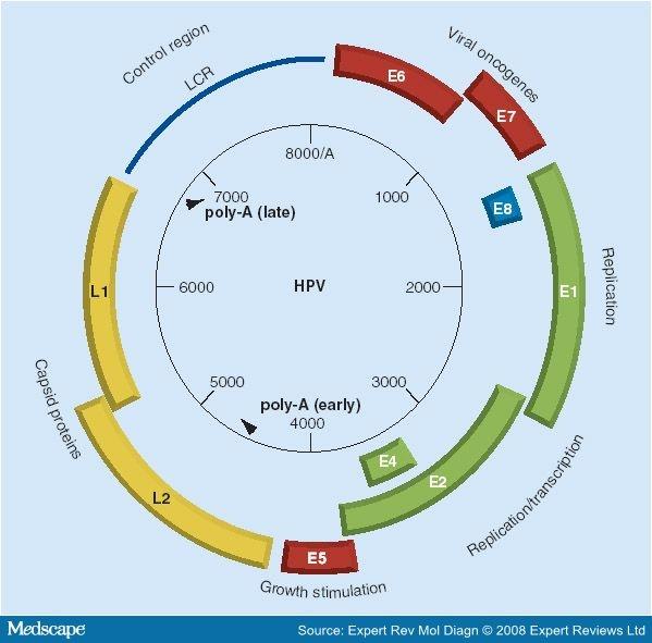 human papilloma genes