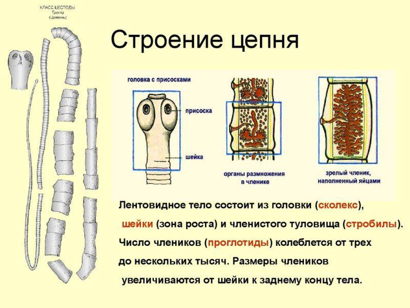 metode de infecție cu tenioză