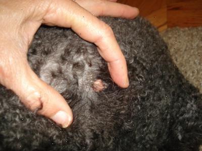 papillomavirus honden papilloma vescicale di 2 cm