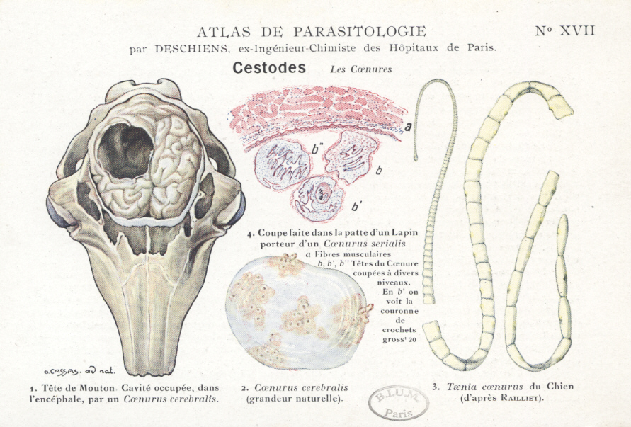 paraziti oaie)