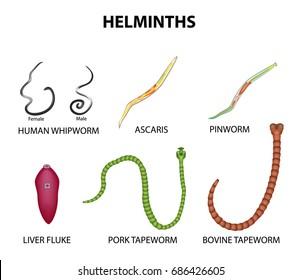 pinworm la vârsta adultă)