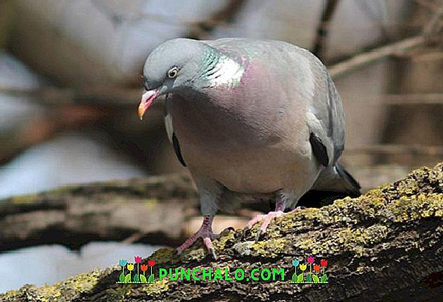 Tratament pt. Tricomonoza la puii de porumbel (Trichomonas gallinae)