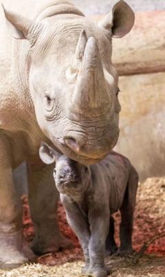 rinocer copil mic