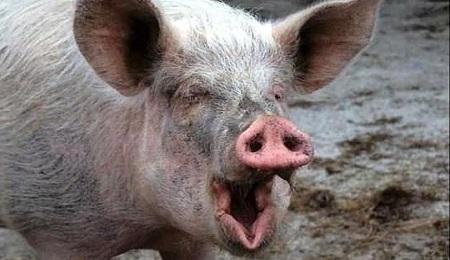 toxine porc