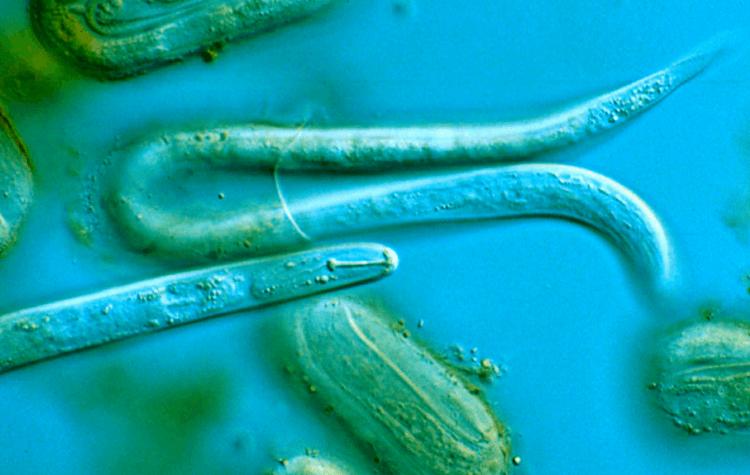 viermi și speciile lor pe scurt